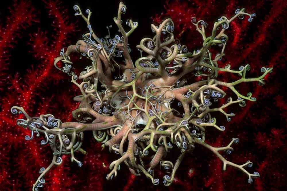 Expedición Gombessa V, Medusa